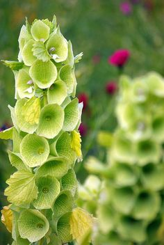 bells of ireland, one of my faves and would love in my back yard! Peak is in June-October