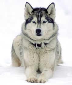 10 Cool Facts About Siberian Huskies