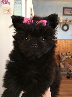 How cute !!!!  Pomeranian poodle mix
