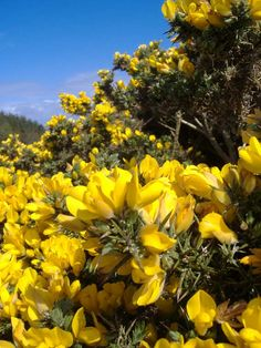 Gorse with thorns, large yellow flowers in spring Yellow Flowers, Wild Flowers, Plant Fungus, Flower Meanings, Evergreen Shrubs, Plant Species, Garden Spaces, Backyard Landscaping, Flower Pots