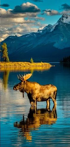 A moose in a lovely setting ...