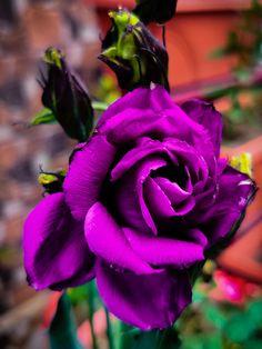 Garden Animals, Neon Purple, Flowers Garden, Summer Garden, Bloom, Gardening, Colour, Twitter, Rose