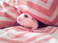 Hi there #aww #cute #rat #cuterats #ratsofpinterest #cuddle #fluffy #animals #pets #bestfriend #ittssofluffy #boopthesnoot
