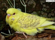 Cute Fallow budgie, likely to be an English fallow due to lack of iris ring, though it looks young so that could change as it matures. It also appears to be an Opaline and some type of Pied.