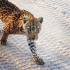 My beautiful leopard at Singita Boulders Lodge in South Africa on safari