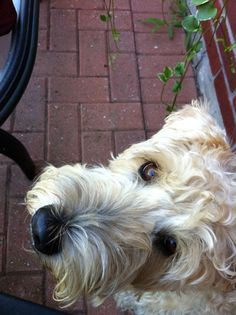 Wheaten Terrier - lovely! Reminds me of my Charlie.. :(