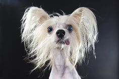 Comical Portraits of Hairless Dogs by Sophie Gamand  http://www.thisiscolossal.com/2015/02/comical-portraits-of-hairless-dogs-by-sophie-gamand/