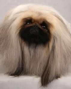 Roger the Pekingese at the Westminster Dog Show. (Photo: Fred R. Conrad/The New York Times)