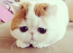 mèo exotic short hair - mèo ba tư lông ngắn