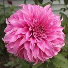 Vassio Meggos Dahlia (Tuber) Great Cut Flowers,Bloom Summer to fall