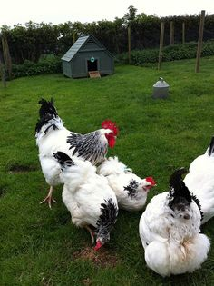 Light Sussex Hens. Docile, good with kids, low tendency to turn broody, cold hearty. And beautiful!