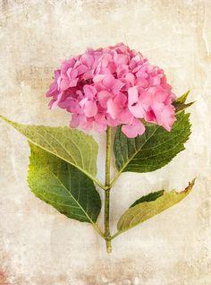 Hydrangea: Image Catherine Wood Texture Kim Klassen