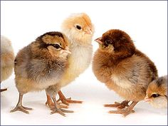 Ready to place your order for baby chicks for your small farm or homestead? Here's a list of the best places to order baby chicks and other poultry online.