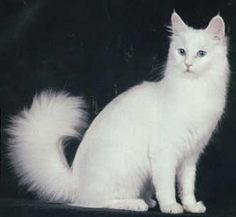 Turkish Angora - is a semi-longhaired cat that originated in Turkey. They are long bodied and graceful with a fine silky coat. Although solid white is the most well-known color, they do come in a variety of additional colors and patterns. Turkish Van Cats, Turkish Angora Cat, Angora Cats, Warrior Cats, Pretty Cats, Beautiful Cats, Gatos Cool, Cat Brain, Devon Rex