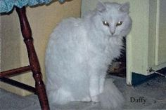 Polly & Duffy is an adoptable Domestic Medium Hair Cat in Jamesville, NY.  Wayward Paws, Inc.  Jamesville, NY  13078     Website: http://www.waywardpaws.org Our owner recently passed away and we are i...