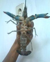 Hurrah, lobsternya gendong telur lagi ( Kuning Royo Royo ), artinya 1 – 2 bulan kedepan bibit-bibit baru penerus indukan akan hadir kedunia lol.., mengamati perkembangan lobster memang sangat menyenangkan, mulai dari pemilihan tempat pembesaran, pakan, moulting ( Ganti Kulit ), gendong telur, perawatan benih dan lain-lain
