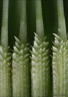 Dandelion seeds ripening
