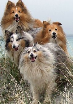 Beautiful Shetland Sheepdogs!  I love my Sheltie!