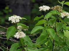 Silky dogwood (Cornus amomum) Bloom Period: March-April. Height: 6-8', 15'. Site: Wet-Mesic. Location: part shade; shade. Large shrub; clay, loam, sand.