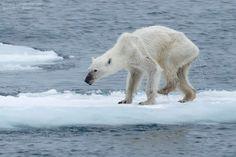 """A foto de um doente e magro urso polar em Svalbard, Noruega, ilumina a tragédia que se desenrola no Ártico. A imagem chocante do urso faminto foi feita por Kerstin Langenberger fora do Mar de Barents no arquipélago norueguês de Svalbard. Infelizmente, este urso não é uma exceção isolada. """"Sim, eu vi ursos em boa forma, mas também tenho visto ursos polares mortos ou morrendo de fome"""" disse o fotógrafo.  http://inhabitat.com/watch-a-little-polar-bear-cub-experience-snow-for-the-first-time/"""