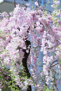 Cherry Tree, Osaka, Japón