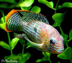 Green Terror Cichlid. To see more click on ... http://www.AquariumFish.net/catalog_pages/cichlids_neotropical/cichlids_neotropical_table.htm#more