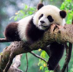 Panda in a tree❤️❤️