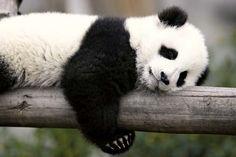 giant panda: giant panda cub sleeping [Credit: © Kitch Bain/Shutterstock.com]