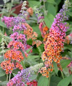 Bicolor Butterfly Bush  Perfect for climates that feature hot summers and modest rains, this impressive trio of bushes will attract butterflies for miles around. They feature striking blossoms that bloom from mid-summer to fall and can grow up to 10 inches long, making them an attractive option for gardeners in need of a striking addition to the yard.    Grows to approx. 7' W x 7' H  Perennial  Grown in the USA
