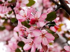 Pink Crab Apple Blossoms