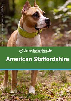 Wir stellen hier den American Staffordshire Terrier in einem Rasseportrait vor. Alle Informationen zu dieser Hunderasse im Überblick: American Staffordshire Terrier, Portrait, Dog Breeds, Dogs, Animals, Cats, Animales, Headshot Photography, Animaux