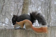 Red and black squirrel, photo by Dnomar.