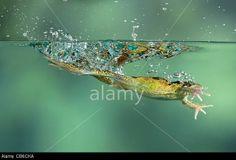Common Frog Rana temporaria leaping UK