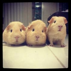 Piggies Posing, The One On The Right Decides to Stand Up...☺☺☺ ❤ http://smallpetselect.com/ ❤ http://statigr.am/p/628791942922636008_3875513