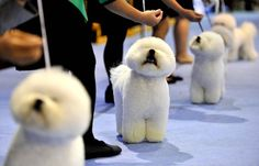 Breeders prepares his frisé dogs for the judging ring at the Seoul FCI International Dog Show, on September 1, 2013. (Photo by Truth Leem/AFP Photo) http://avaxnews.net/fact/The_Week_in_Pictures_Animals_August_31-September_7_2013.html