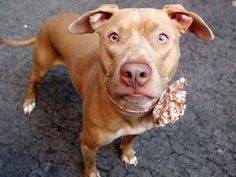 TO BE DESTROYED - 09/27/14 Manhattan Center - P ***$150 DONATION to NEW HOPE RESCUE that pulls!!***  My name is NALA. My Animal ID # is A0956244. I am a spayed female brown and white pit bull mix. The shelter thinks I am about 2 YEARS old.  I came in the shelter as a STRAY on 09/12/2014 from NY 10474, owner surrender reason stated was STRAY. I came in with Group/Litter #K14-194082.
