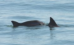 The United Nations Urges Mexico to Save the Vaquita