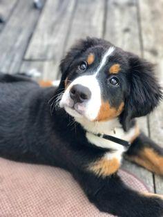 Bernese Mountain, Mountain Dogs, Cali, Bernese Dog, Doggies, Dog Breeds, Bliss, Cute Animals, Future