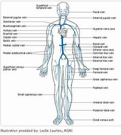 This diagram shows the major veins in the human body venas dr will mccarthys science site major arteries and veins from the american medical association body diagramarteries ccuart Image collections