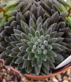 Sedum (Sinocrassula yunnanensis)