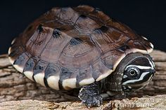 Malayan Snail-eating Turtle