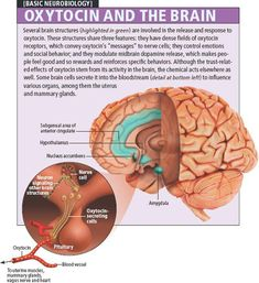 Oxytocin and the brain