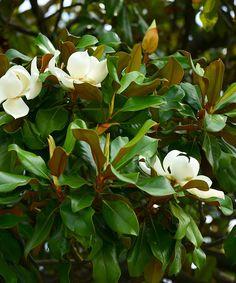 'Moonglow' Magnolia Tree
