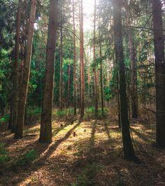 Сосновый лес, природа, forest, pine