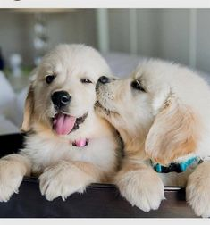 Golden Retriever Welpen – g… – Dog Breeds Love Dogs, Cute Dogs And Puppies, Baby Puppies, Corgi Puppies, Pug Beagle, Funny Puppies, Doggies, Pet Dogs, Cute Puppies Golden Retriever