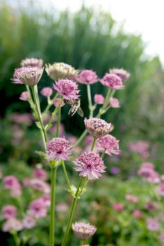 Astrantia major 'Roma' (Rosa Sterndolde)