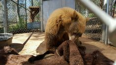 A three-legged black bear cub (~1 year old) is investigating all the interesting smells on a bison hide collected by and donated from Born Free USA. PHOTO: Fund for Animals Wildlife Center