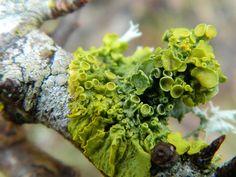 Xanthoria parietina - Greenish yellow lichen | Flickr - Photo Sharing!