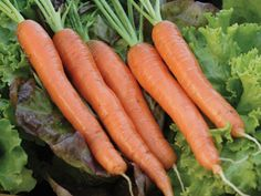 Choose Napoli Organic Carrot seeds for fall harvest from the vegetable garden. Learn when to plant carrot seeds from our How to Grow Carrots instructions. Organic Vegetable Seeds, Organic Seeds, Organic Vegetables, Fruits And Vegetables, Vegetable Garden, Organic Fertilizer, Organic Gardening, Candied Carrots, Growing Carrots
