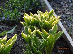 Kuunlilja Celery, Vegetables, Plants, Vegetable Recipes, Plant, Veggies, Planets